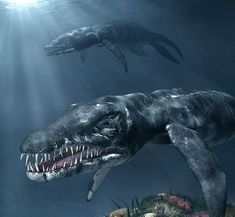 Liopleurodon is a large Pliosaurid from the Jurassic sea's of Europe. three species have been named. L. ferox, the Type species and L. pachydeirus lived during the Callovian stage of the Middle Jurassic Period (c. 160 to 155 mya), while the third, L. rossicus, lived during the Late Jurassic. Estimat.