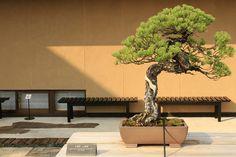 "五葉松 静寂 Goyo-matsu ""Seijaku"" (Japanese Five Needle Pine) - 盆栽美術館 - bonsai museum | Flickr - Photo Sharing!"