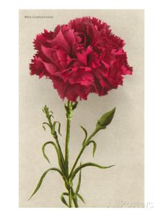 January's birth flower is carnation