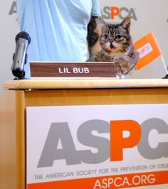 Lil BUB behind the scenes at her press conference! Read all about her BIG fund for special cats here: www.aspca.org/blog/lil-bub-and-aspca-team-special-cats