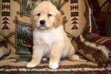 Golden Retriever Puppy for Sale in Ohio