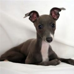 Italian Greyhounds..best dogs ever<3