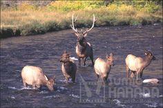 エルク(ワピチ)  /  Elk