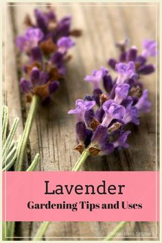 Lavender Gardening Tips and Uses