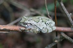 Happy little fella relaxin on a limb. Gray Tree Frog.