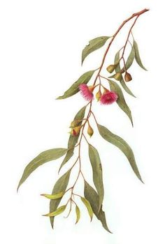I'm a Canberra based artist specialising in watercolours of botanical and insect subjects. I paint many Australian native plants on paper and vellum. Australian Wildflowers, Australian Native Flowers, Australian Plants, Botanical Flowers, Botanical Prints, Watercolor Flowers, Watercolor Art, Australia Tattoo, Native Tattoos