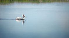 Pelican cruising the pond in search of dinner. Horcon Marsh, Wisconsin - #ArtForSale from ©Susan Rissi Tregoning Fine Art Photography – Beautiful Wall Art & Home Decor for your Interior Design needs. Visit --> www.susantregoning.com | #Art #Photography #HomeDecor #Nature