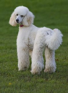 poodle |Pinned from PinTo for iPad| #Poodle