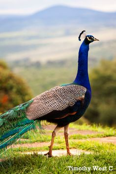 Peacock in Kenya