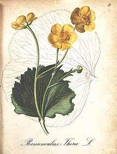 158890 Ranunculus thora L. / Seboth, J., Graf, F., Die Alpenpflanzen nach der Natur gemalt, vol. 2: t. 4 (1839)