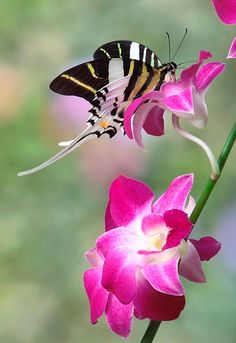 Swordtail Symphony - Swordtail butterfly on orchid
