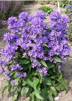 Clustered Bell-flower: Campanula glomerata 'Freya'