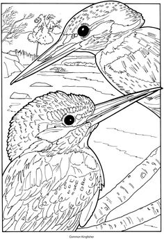 Kingfisher On Branch Coloring Pinterest Kingfisher and Free