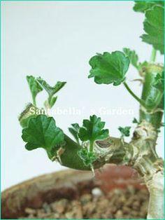 제라늄 키우기 방법 A to Z - <3> 수형잡기(순따기, 가지치기) & 번식방법 : 네이버 블로그 Orchids, Herbs, Plants, Lilies, Herb, Flora, Plant, Orchid, Planting