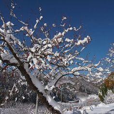 【ao_tsugumi】さんのInstagramをピンしています。 《ナツメの木が雪に埋もれる - - #jujube #hünnap #pastilla #giuggiola #jujuba #мармелад #ナツメ #forêt #wald #foresta #bosque #floresta #δάσος #лес #वन #metsä #skog #숲 #森林 #森》