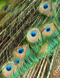 Peacock Feather Details | Flickr - Photo Sharing!