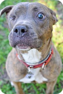 ●8•11•17 SL●Pictures of Gideon a Pit Bull Terrier/American Pit Bull Terrier Mix for adoption in College Station, TX who needs a loving home.