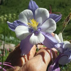 My favorite flowers!  Yesterday at 12000 ft elevation this was the Colorado Columbine growing at the highest elevation and I admired its tenacity and ability to thrive in such rocky ground an extremely harsh environment. Beauty growing out of  adversity! That is so often the case in our lives too! #nofilter #mountains #nature #wild #flowers #wildflowers #inspiration #colorado