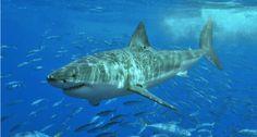 El cuidado al tiburón blanco en México
