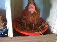 Pentru familiile care trăiesc la țară și au un petic de pământ pe care doresc să înființeze o afacere agricolă, o fermă de găini ouătoare este o idee de business care merită luată în s Rooster, Chicken