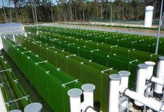Algafarm | Leiria, Portugal – Photobioreactors with Chlorella vulgaris culture, growing with the sunlight.