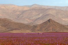 El Niño causes thousands of flowers to bloom in Chile's Atacama Desert El Nino makes flowers bloom in the Atacama Desert – Inhabitat - Sustainable Design Innovation, Eco Architecture, Green Building Desert Sahara, Dry Desert, Landscaping Retaining Walls, Nature Images, Landscape Photos, Champs, Monument Valley, Places To Visit, Around The Worlds