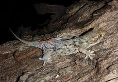 Geckolepis megalepis, newly discovered in Madagascar, has the largest scales of any fish-scale gecko.