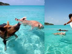 This small Bahamas island is full of swimming pigs (but no humans)! #animals #pigs