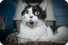 Pictures of Geraldine a Domestic Shorthair for adoption in New York, NY who needs a loving home.