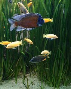 Beautfiul Malawi Cichlids Tank Beautfiul Cichlids Malawi tank is part of Tropical freshwater fish - Tropical Freshwater Fish, Tropical Fish Aquarium, Freshwater Aquarium Fish, Aquarium Fish Tank, Cichlid Aquarium, Malawi Cichlids, Beautiful Gif, Animals Beautiful, Fish Pond Gardens