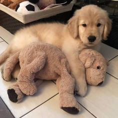 Labrador Retriever Golden Retriever puppy and best friend. Cute Dogs And Puppies, I Love Dogs, Puppy Love, Doggies, Cute Baby Animals, Animals And Pets, Funny Animals, Animals Images, Dogs Golden Retriever