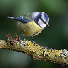 Blue Tit - Pimpelmees - Parus caeruleus Kaapse Bossen - Doorn - The Netherlands by Aat Bender on Parus Major, British Garden, Dog Best Friend, Blue Tit, Bird Pictures, Cute Birds, Little Birds, Bird Watching, Animal Paintings