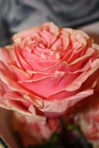 Pink Finesse Rose Varieties, Rose Pictures, Beautiful Gardens, Flowers, Plants, Pink, Roses, Rose, Plant