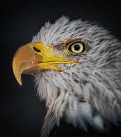 Bold eagle by begoña garcia / 500px