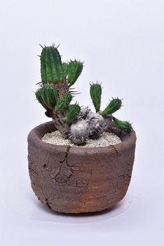 紅キリン 親木      Euphorbia aggregata