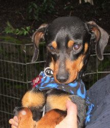 I would love to adopt this little dollface! What a sweetie!    ROCCO is an adoptable Dachshund Dog in Portland, OR. ROCCO. Rocco is a 8-1/2 month old pup, black and tan miniature dachshund. He was not fed regularly and is in need of some good home cooking mixed i...