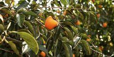 🍑 Μπορεί η χώρα των λωτοφάγων να μη βρεθεί ποτέ, όμως το διάσημο φρούτο της ελληνικής μυθολογίας είναι σήμερα ένα από τα γευστικότερα και πιο υγιεινά που μπορούμε να καλλιεργήσουμε στον κήπο μας. Vegetables, Gardening, Lawn And Garden, Vegetable Recipes, Veggies, Horticulture