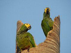 Orthopsittaca manilata, Guacamayo Barriga Roja, Red-Bellied Macaw