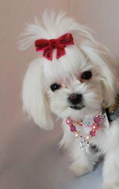 Paisley ♡... re-pin by www.StoneArtUSA.com ~ affordable custom pet memorials for everyone. #maltese