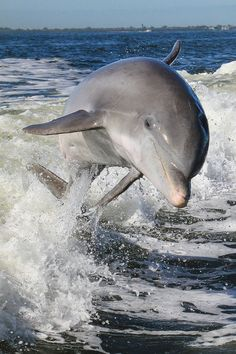 dolphin in motion