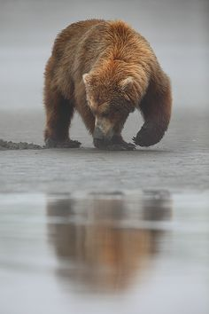 Beneath The Surface Alaskan Brown Bear