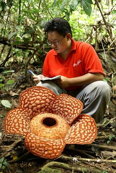 rafflesia arnoldii the largest individual flower on earth, aka corpse flower. one of the three national flowers of indonesia