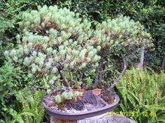 Bonsai Bonsai, South Africa, Plants, Plant, Planets, String Garden
