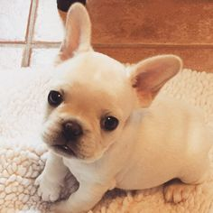 Angus, the French Bulldog Puppy