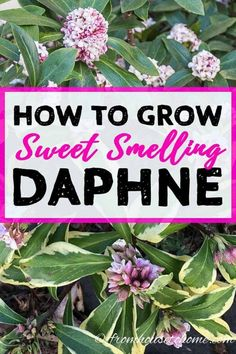 I love these tips for growing Daphne. It has evergreen leaves, blooms in late winter and has very fragrant flowers...a great addition to my garden landscaping. | Shade Loving Shrubs Garden Shrubs, Shade Garden, Garden Plants, Garden Landscaping, Flowering Plants, Backyard Plants, Landscaping Design, Plants Under Trees, Small Plants