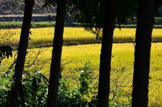 刈り取りを待つ稲穂の輝き - 條庚申塚古墳付近で (2012/10/26)
