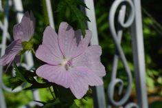 Luonnonkukkaa puutarhassa  ruusumalva
