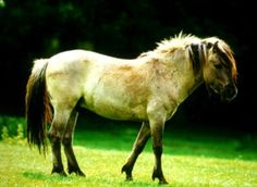 This prehistoric animal is a protected species at the moment and are very rare.  They are a working pony and only found in the wild.  The Tarpan is hardy and can survive in extreme weather.
