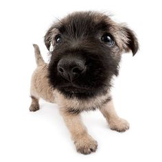 Artlist Collection THE DOG Cairn Terrier — Some things just fill your heart without trying