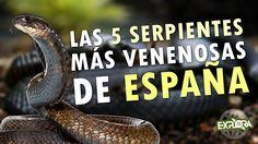 Las Serpientes venenosas de España | Explora